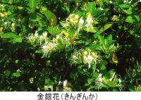 金銀花(きんぎんか)