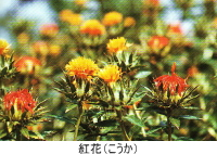 紅花(こうか)